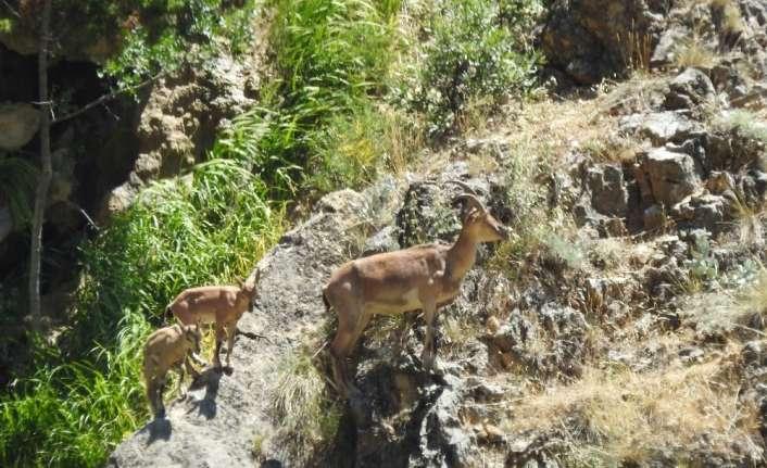 Erzincan'da 26 dağ keçisinin avlanması için açılan ihale durduruldu