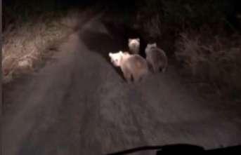 3 yavru ayı bir metreden poz verdi