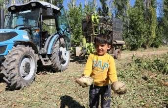 Erzincan'da şeker pancarı hasadı başladı
