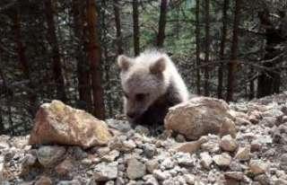 Dağın eteklerinde çoban köpekleri ayıyı kovaladı