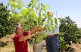 Verimsiz ceviz ağaçları kabuk altı aşısıyla verimli hale getiriliyor